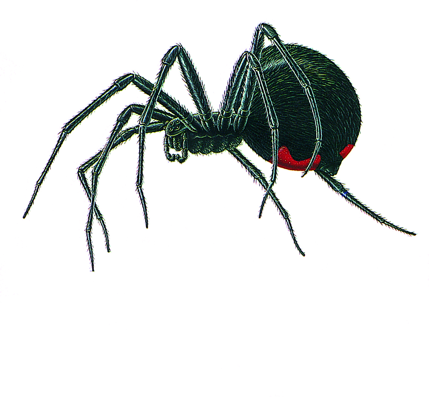 Black Widow Spider Extermination Pest, INC