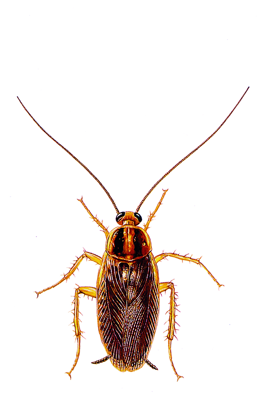 German Cockroach Control and Extermination Pest, INC