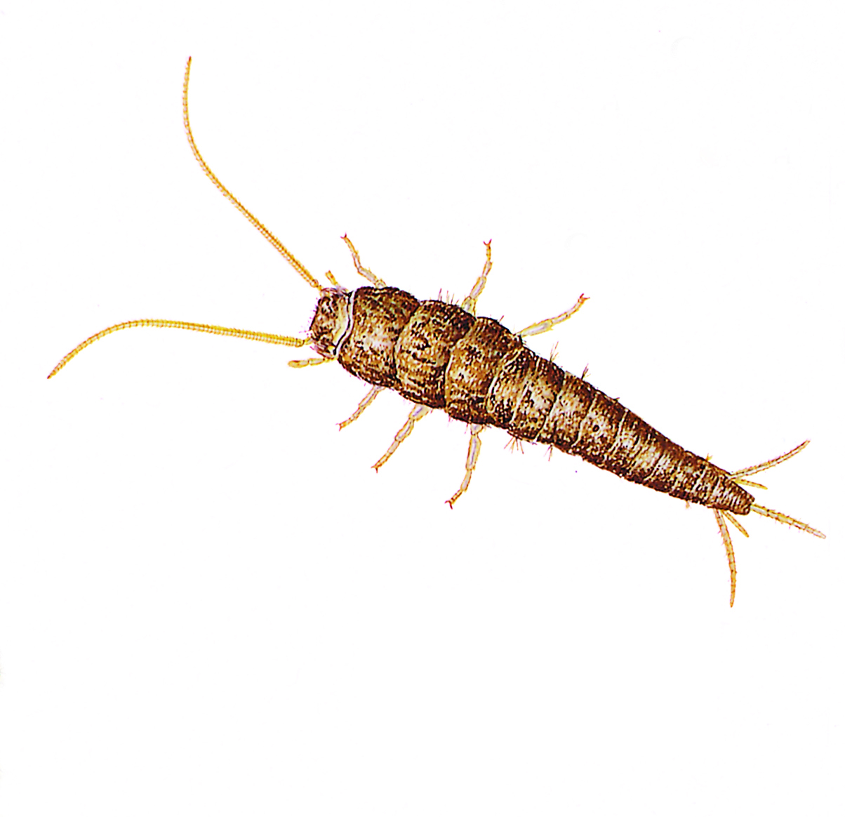 Silverfish Pest Control Pest, INC