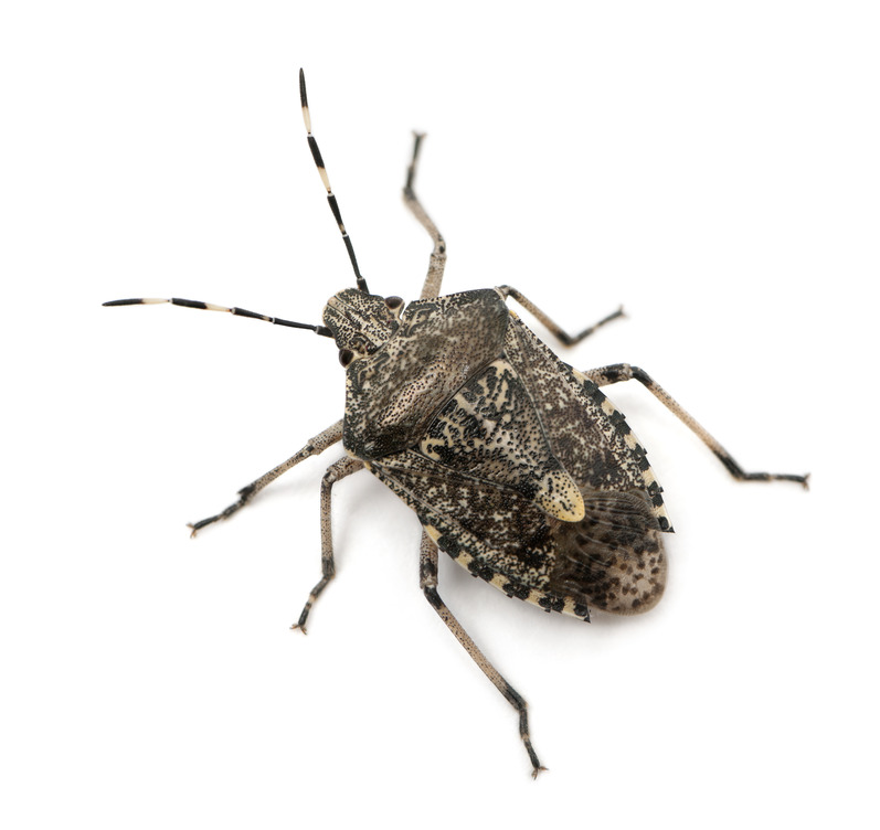 Stink Bug Pest Extermination and Control Pest, INC